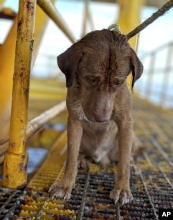 In this Friday, April 12, 2019, photo, a dog sits on an oil rig after being rescued in the Gulf of Thailand. The dog found swimming more than 220 kilometers (135 miles) from shore by an oil rig crew in the Gulf of Thailand was returned safely to land.