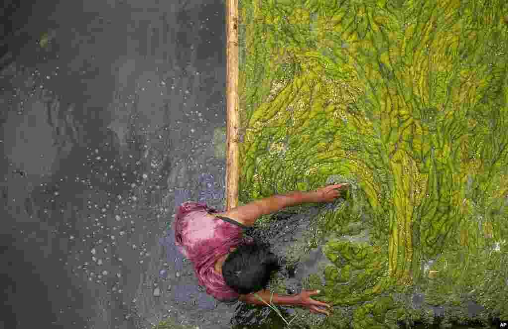 Seorang pekerja Nepal membersihkan ganggang di kolam Kamal Pokhari di Kathmandu, Nepal. Kolam Kamal Pokhari adalah salah satu kolam tertua, dan sedang menjalani restorasi. (Foto: AP)