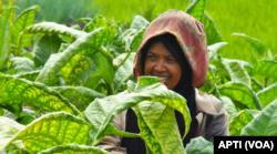Cukai Hasil Tembakau dinilai belum bermanfaat banyak bagi petani. (Foto: Courtesy/APTI)