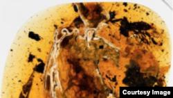 ႏွစ္သန္းေပါင္း ၉၉ သန္း တုန္းက ငွက္ငယ္ကေလးရဲ့ ရုပ္ၾကြင္းအပိုင္းအစ (National Geographic)