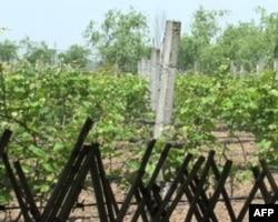 毛桥村统一经营,种植,管理的农园