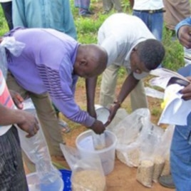 Men distributing aflasafe to farmers in Nigeria.