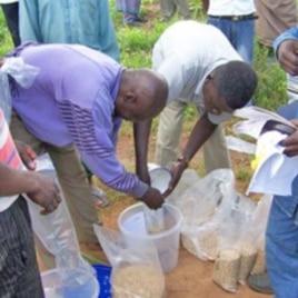 Men distributing aflasafe to farmers in Nigeria.