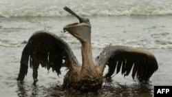 Архив: одна из жертв аварии на нефтяной платформе Deepwater Horizon - пеликан, покрытй нефтяной пленкой
