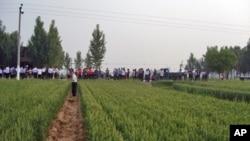 村民观看毁麦征地行动南贾素村毁麦现场