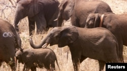 FILE - Elephants wander around in the bush after being released into newly-named Great Limpopo Transfrontier Park in Gaza Mozambique, October 4, 2001.