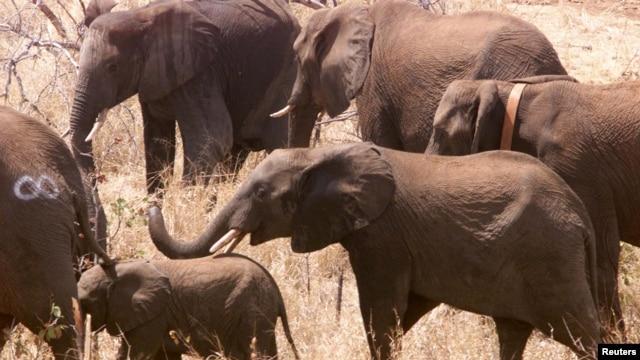 Penelitian: Gajah Mungkin Bisa Pecahkan Misteri Cegah Kanker