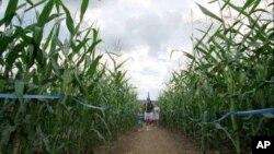 Menjelajahi jalur-jalur berputar dan belokan-belokan yang membingungkan yang menyerupai labirin di kebun jagung atau corn maze makin disukai orang di Amerika (foto: dok).