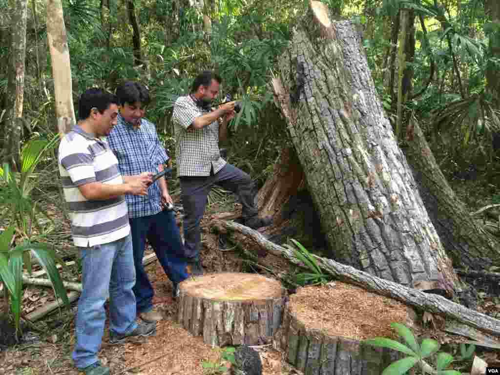El ingeniero Luis Lickes y Juan Pablo Noriega introducen datos en la aplicación SMART, mientras que Victor Hugo Ramos de Wildlife Conservation Society, fotografía la tala de un árbol de caoba. [Foto: Verónica Balderas, VOA].