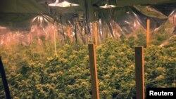 Cần sa được trồng bất hợp pháp trong một căn nhà ở California, Mỹ (ảnh minh họa)