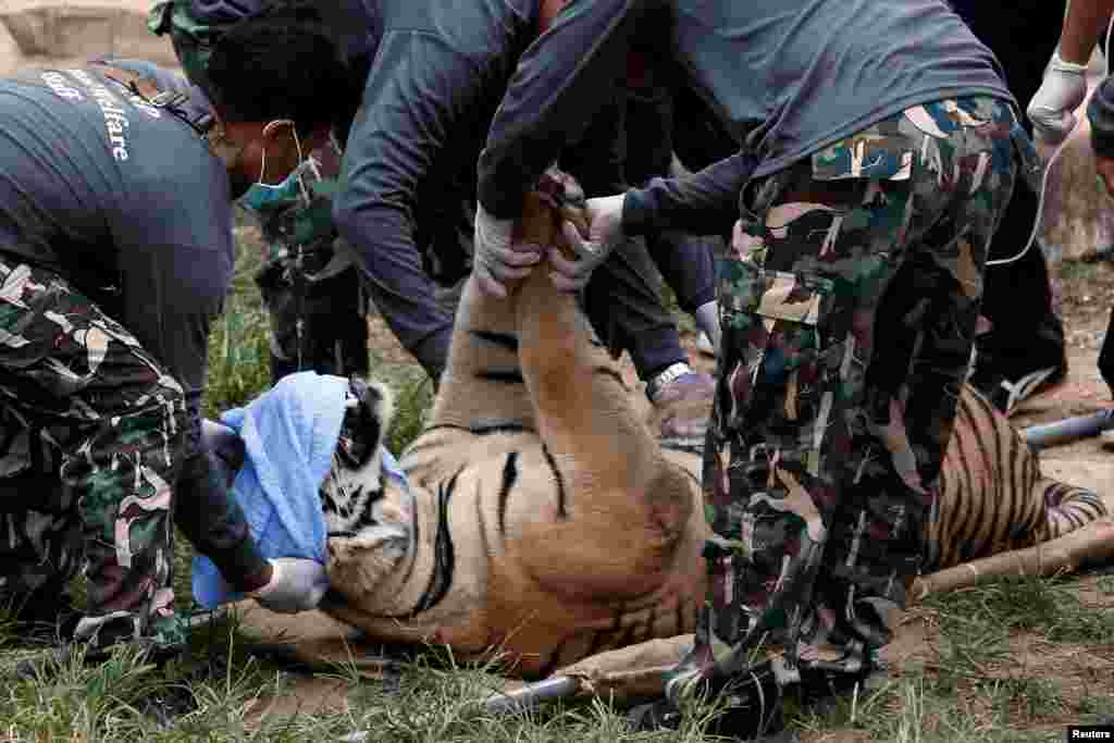 A sedated tiger is placed on a stretcher as officials start moving tigers from Thailand's controversial Tiger Temple, a popular tourist destination that has come under fire in recent years over the welfare of its big cats, in Kanchanaburi province, west of Bangkok.