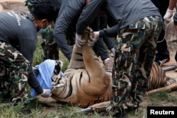 FILE - A sedated tiger is stretchered as officials were moving tigers from Thailand's controversial Tiger Temple, a popular tourist destination which has come under fire in recent years over the welfare of its big cats in Kanchanaburi province, west of Bangkok.