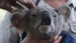 Related video of Australian study to save Koalas