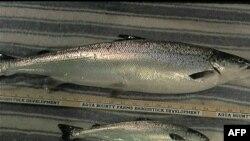 Genetski modifikovan losos raste i do dva puta brže od običnog