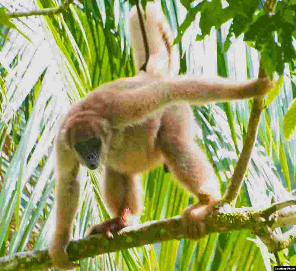 Muriquis and other large primates are vanishing from tropical ecosystems. (Pedro Jordano)