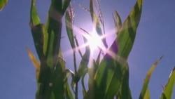Scientists Develop Drought-Tolerant Maize