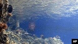 A new marine life exhibit is shown at the Waikiki Aquarium in Honolulu, Hawaii, August 9, 2011 (file photo)