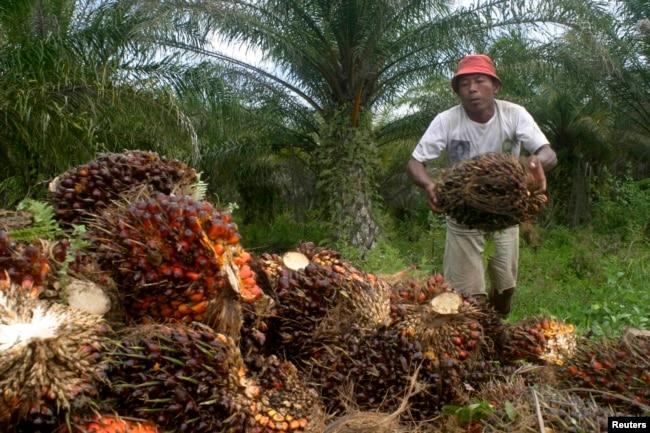 Seorang petani mengumpulkan buah kelapa sawit di kawasan transmigrasi Arso di Provinsi Papua, 19 April 2007. (Foto: Reuters)