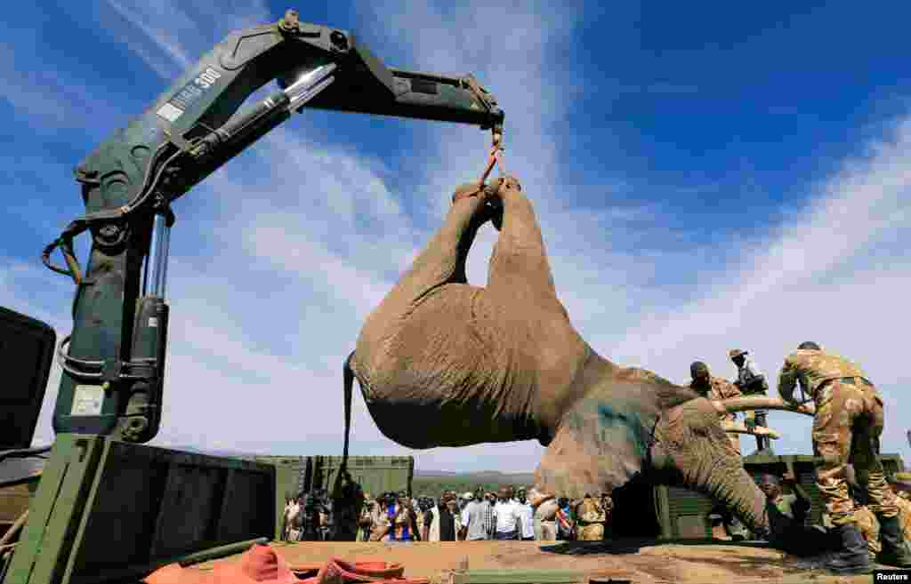 Kenya Wildlife Service (KWS) rangers load a tranquillized elephant onto a truck during a translocation exercise to Ithumba Camp in Tsavo East National Park, in Solio Ranch in Nyeri County, Kenya.
