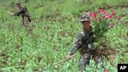 Hình tư liệu - Hai binh sĩ Thái Lan cắt bỏ cây thuốc phiện ở một cánh đồng tại Chiang Mai năm 1996.