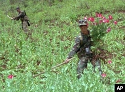 FILE - Two Thai soldiers trim poppies in a Chiang Mai field in December, 1996. Southeast Asia's Golden Triangle, the rugged area where the borders of Burma, Laos and Thailand meet, has provided much of the world's supply of heroin and opium.