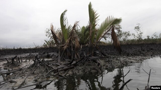 Oil slick flows at the base of the mangrove at Bodo creek, outside Nigeria's oil hub city of Port Harcourt August 2, 2012.