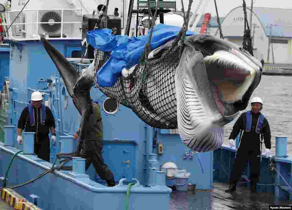 A captured Minke whale is unloaded after commercial whaling at a port in Kushiro, Hokkaido Prefecture, Japan.