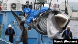 A captured Minke whale is unloaded after commercial whaling at a port in Kushiro, Hokkaido Prefecture, Japan, July 1, 2019.