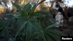 "FILE - A soldier keeps guard at a marijuana plantation near an area known as ""El Hongo"" on the outskirts of the municipality of Tecate, on the border with the U.S. state of California, Sept. 25, 2015."