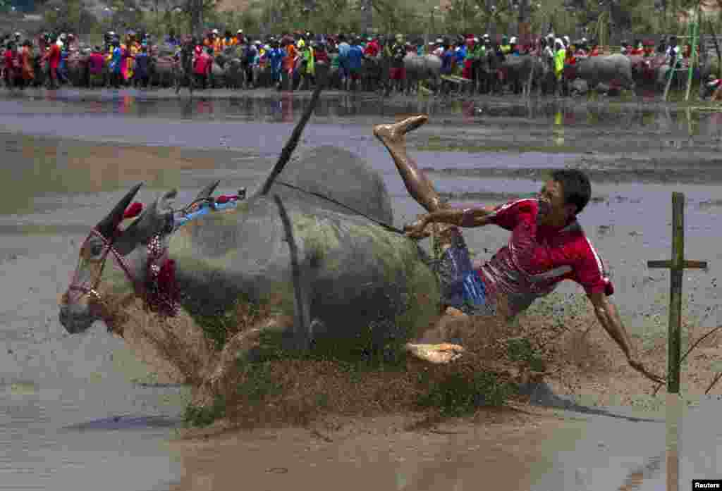 A jockey falls off during a traditional Barapan Kebo or buffalo races in Taliwang, on the island of Sumbawa, West Nusa Tenggara, Indonesia.