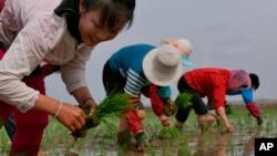 2019年5月,北韓農民在田裡插秧。