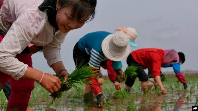 资料照片:2019年5月,朝鲜农民在田里插秧。