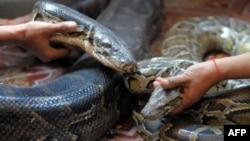 Chamrouen, trăn cái, trái, và Kroung Pich, trăn đực, được làm lễ cưới để đưa vào sống chung trong một lồng