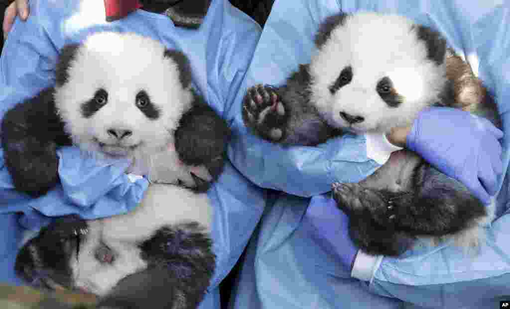 Zookeeper hold 'Meng Yuan' and 'Meng Xiang' during a name-giving event for the young panda twins at the Berlin Zoo in Berlin, Germany,.
