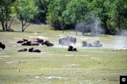 A herd of bison rests in the badlands of North Dakota.