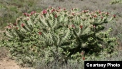 According to the Environmental Management Agency, the cactus rosea weed has caused the death of a high number of livestock in Zimbabwe's Matabeleland region. (Photo: COURTESY IMAGE)