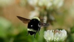 Quiz - 'Citizen Scientists' Seek Solutions to Bumblebee's Problems