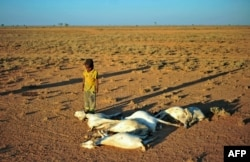 FILE - A boy looks at dead goat carcases in dried-out land close to Dhahar in Puntland, northeastern Somalia, on Dec. 15, 2016. Drought in the region has severely affected livestock of local herdsmen.