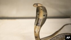 FILE - An 18-inch, one-year-old cobra is shown. (photo: Wildlife Conservation Society)