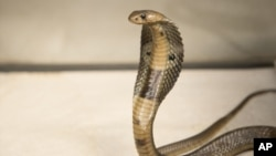 A Dec. 18, 2015, photo provided by the Wildlife Conservation Society, shows an 18-inch, one-year-old cobra. The poisonous snake was discovered by workmen as they unloaded cargo from a ship at New Jersey's Port Elizabeth.