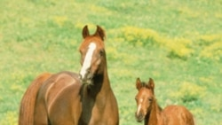 A mare and colt in field of yellow flowers