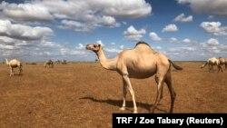 Gedi Mohammed's camels in Hadado, northeastern Kenya, June 30, 2018.