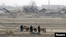 FILE - North Korean farmers lead ox carts as they walk past a field on Hwanggumpyong Island, in the middle of the Yalu River near the town of Sinuiju.