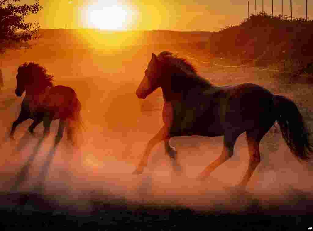 Iceland horses run in their paddock at a stud farm as the sun rises in Wehrheim near Frankfurt, Germany.