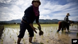 Thai farmers plants a rice crop near Mae Sariang, Thailand. Rice has been the food stable for Thai people for centuries and plays a crucial role in the essence of their culture, (File).
