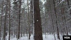西伯利亞西部地區的森林。