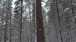 中国被批掠夺西伯利亚森林资源 民众愤怒