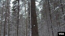 西伯利亚西部地区的森林。