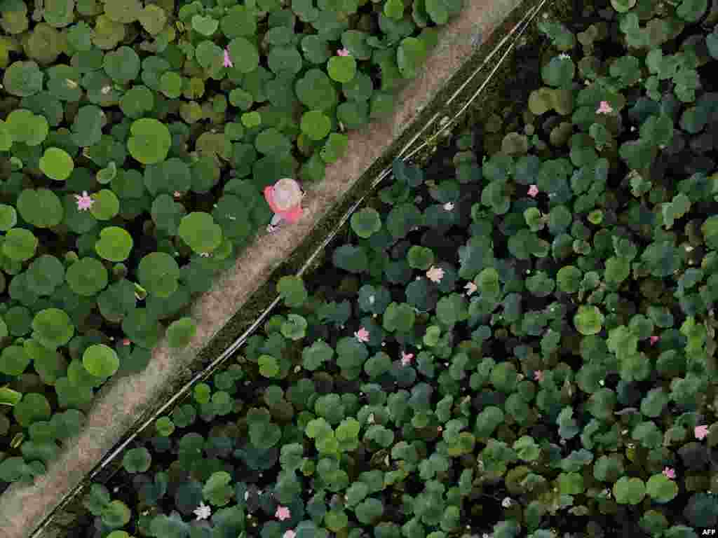 This image taken from above shows a visitor walking across a lotus pond in Shuangxi district, in New Taipei City, Taiwan.