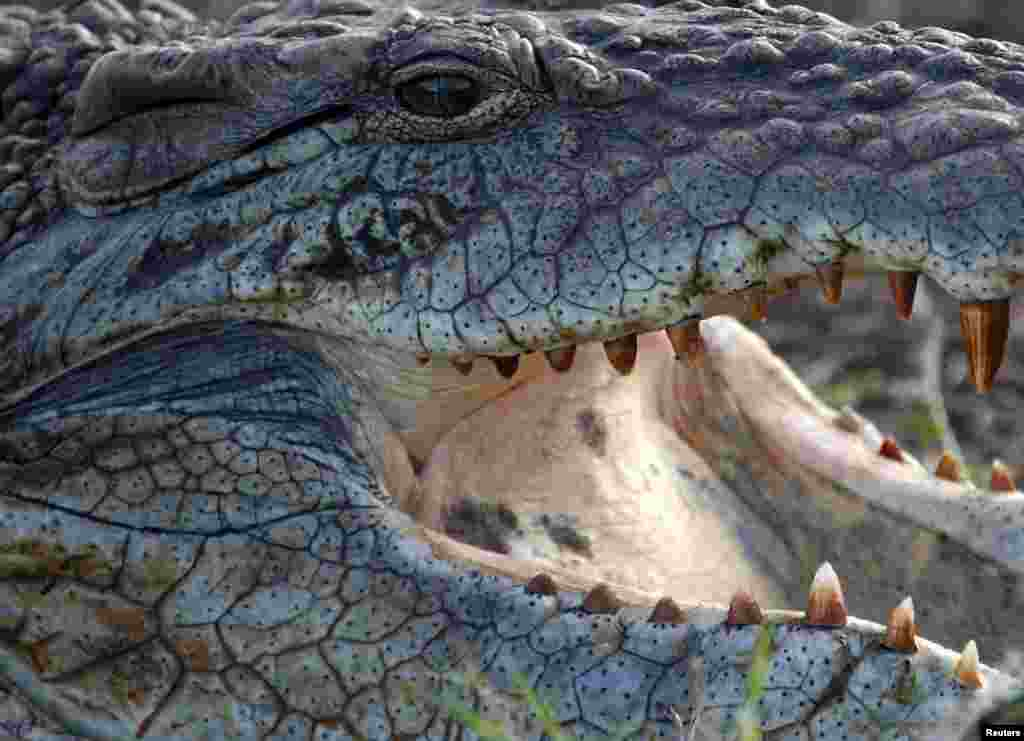 A crocodile at the Nairobi National Park outside the Kenyan capital